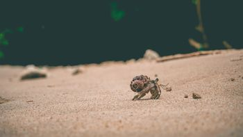 A hermit crab walking in its shell across the sand